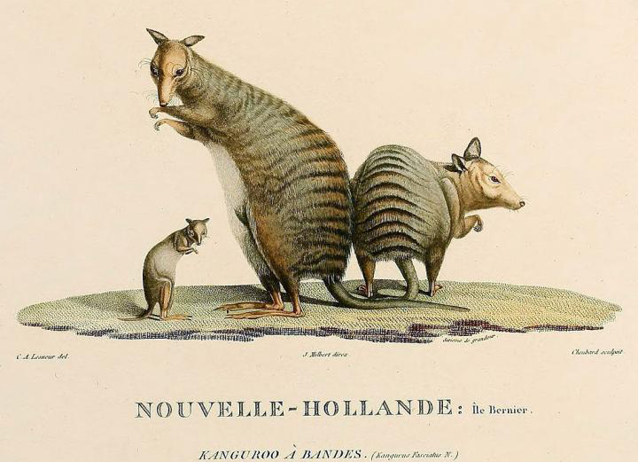 This is a drawing of Banded-hare wallabies from John Gould Mammals of Australia, 1845-63. Credit: Public Domain