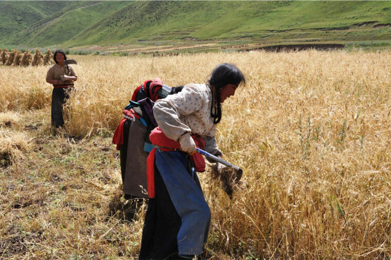 Prehistoric peasant farmers expanded the cultivation of domestic grains into extreme climate regions of the Old World, such as this barley field in Zuoni County, Gannan Tibetan Autonomous Prefecture. (Photo: Xinyi Liu/Washington University)