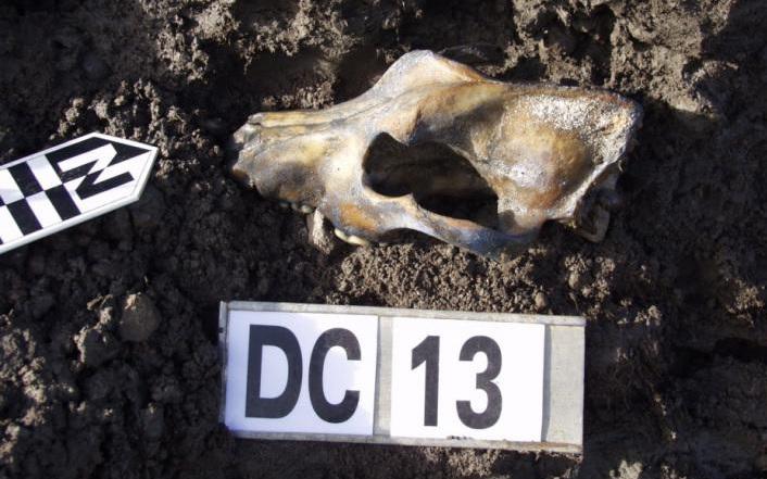Skull of a dog found on Zhokhov site CREDIT Vladimir V. Pitulko et al.