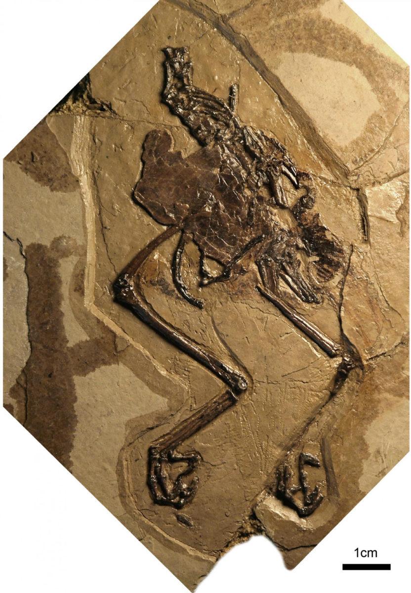 Photograph of the holotype of Avimaia schweitzerae. Credit: Barbara Marrs