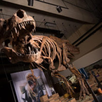 Paleontologists report world's biggest Tyrannosaurus rex