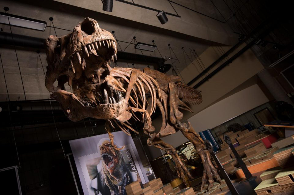 The towering and battle-scarred 'Scotty' reported by UAlberta paleontologists is the world's largest Tyrannosaurus rex and the largest dinosaur skeleton ever found in Canada. Credit : Amanda Kelley