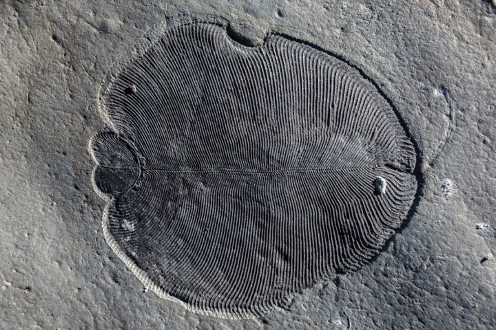 Scientists from The Australian National University have discovered the have discovered that 558 million-year-old Dickinsonia fossils do not reveal all of the features of the earliest known animals, which potentially had mouths and guts. Credit : Ilya Bobrovskiy, The Australian National University (ANU)