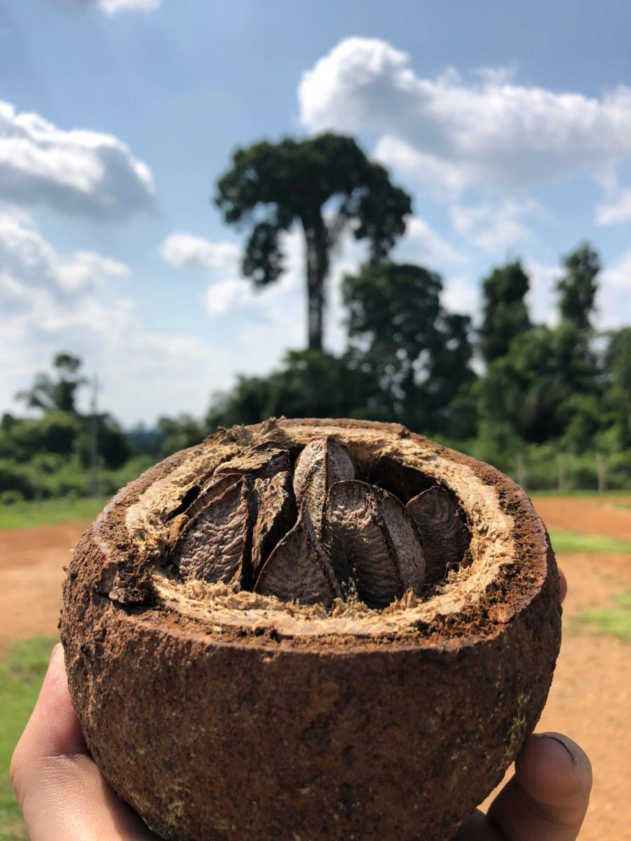 Brazil nut fruit and tree in the background. Credit: Victor L. Caetano Andrade