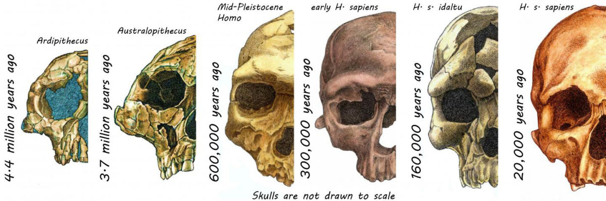 These are skulls of hominins over the last 4.4 million years. Credit: Rodrigo Lacruz