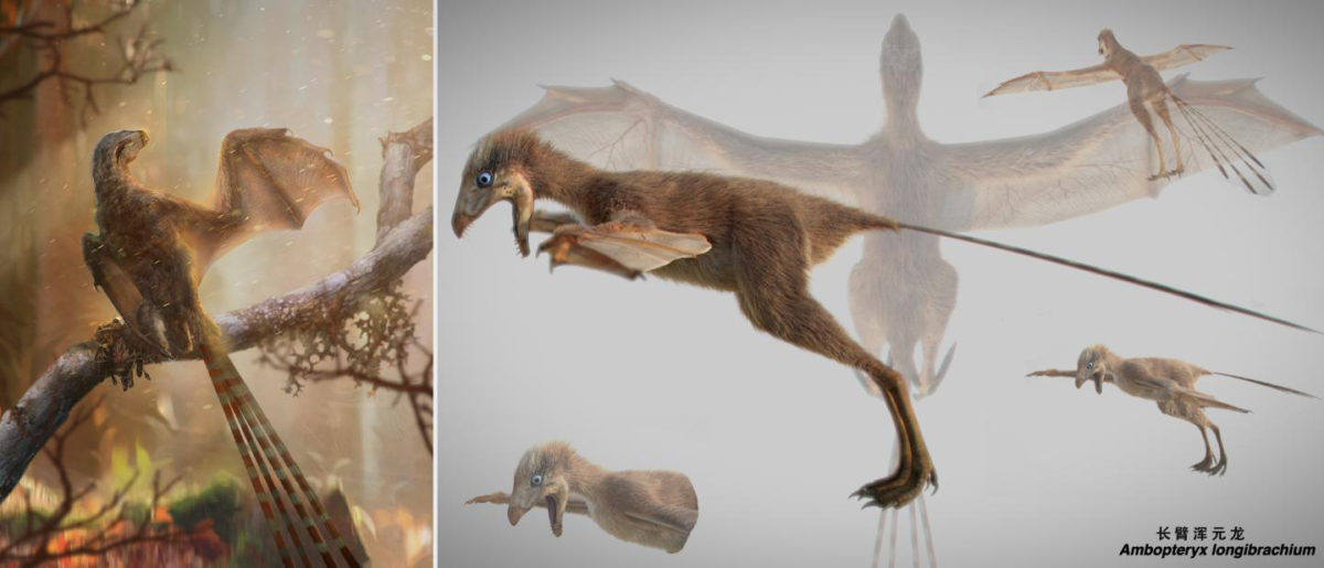 Life reconstruction of the bizarre membranous-winged Ambopteryx longibrachium. Credti: Chung-Tat Cheung