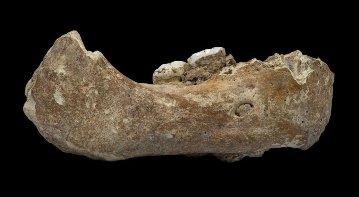 The Xiahe mandible, only represented by its right half, was found in 1980 in Baishiya Karst Cave. Credit : Dongju Zhang, Lanzhou University