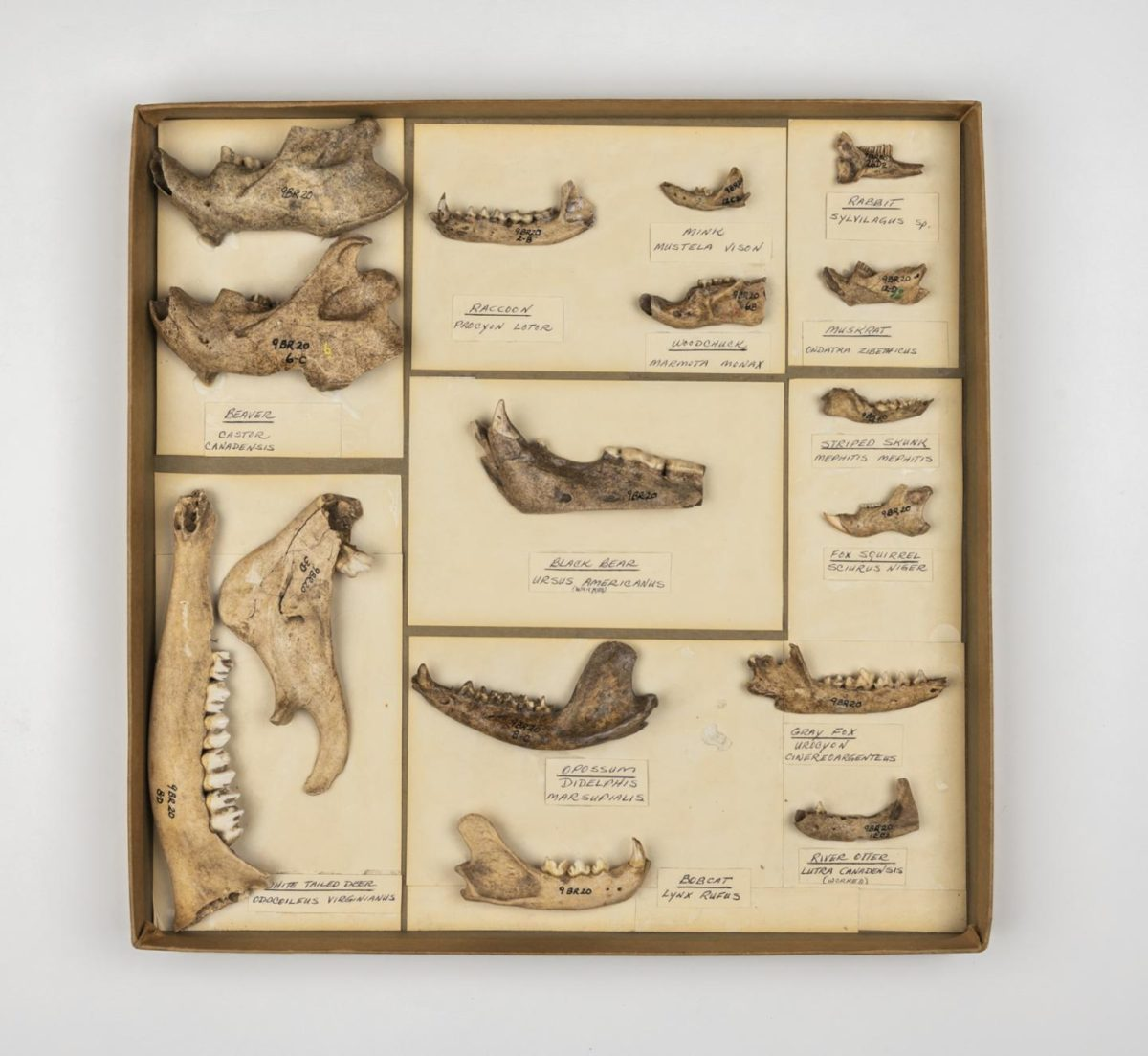 These jawbones come from animals collected at archaeological sites in the southeastern US. The bottom of the black bear jaw in the center box has been cut, possibly for use in a mask. Credit: Florida Museum photo by Kristen Grace