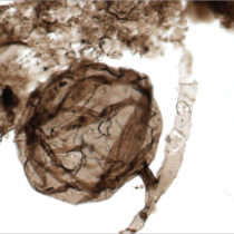 Researchers discover the oldest fossil fungi known to date