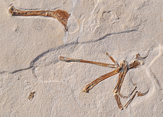 The illustration shows the wing of Alcmonavis poeschli as it was found in the limestone slab. Alcmonavis poeschli is the second known specimen of a volant bird from the Jurassic period. Credit: O. Rauhut, LMU/SNSB