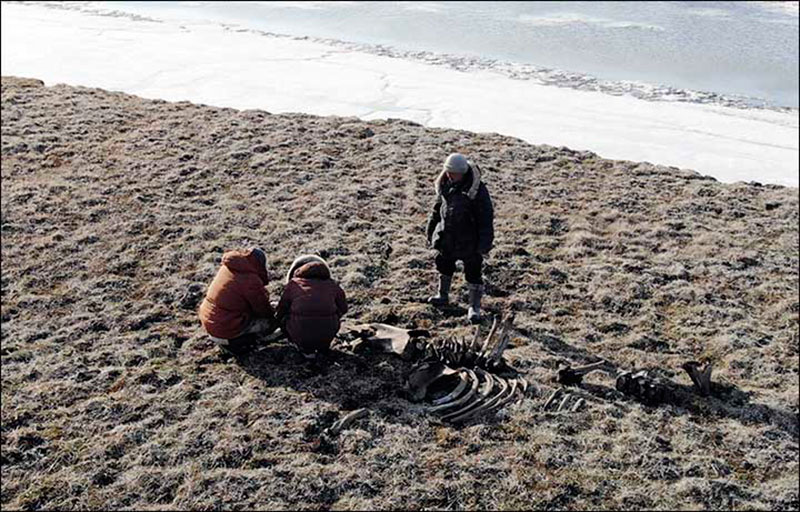 The scientists dug out the remains of the mammoth skeleton from the thawing permafrost. Photo Credit: Innokenty Pavlov/The Siberian Times.