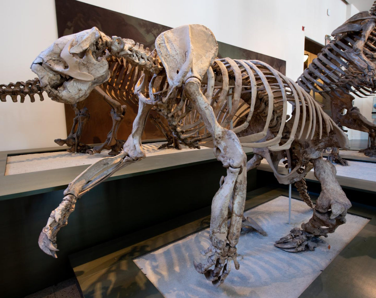 Megalonyx, a megatherioid ground sloth from North America Credit: AMNH/D. Finnin