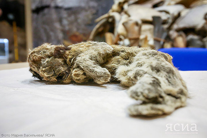 The cave lion cub named Spartak - previously announced - is about 40cm long and weighed about 800 grams. Photo Credit:: The Siberian Times, YSIA.