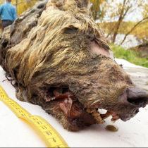 Pleistocene wolf head preserved in permafrost is on display