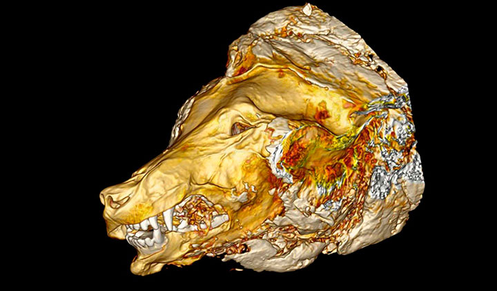 CT scan of the wolf's head. Photo Credit: Albert Protopopov, Naoki Suzuki /The Siberian Times.