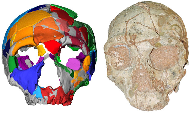 The Apidima 2 cranium (right) and its reconstruction (left). Apidima 2 shows a suite of features 