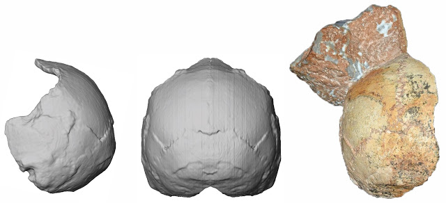 The Apidima 1 partial cranium (right) and its reconstruction from posterior view (middle) and side view (left).  The rounded shape of the Apidima 1 cranium a unique feature of modern humans and contrasts  sharply with Neanderthals and their ancestors. Credit: Katerina Harvati,  Eberhard Karls University of Tübingen.