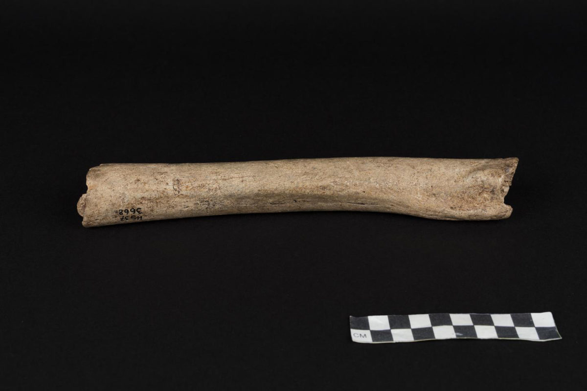 This is the femur of a male Neandertal from Hohlenstein-Stadel Cave, Germany. Credit: © Oleg Kuchar, Museum Ulm