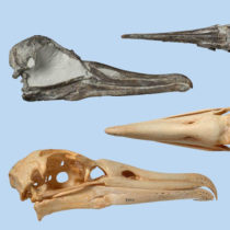 Slender-billed albatross skull from Pliocene discovered in New Zealand