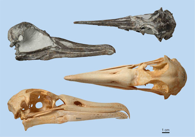 Nearly complete fossil skull of the new albatross species (above) in comparison to the Black-footed Albatross,  one of the smallest extant albatrosses (below) [Credit: Jean-Claude Stahl, Te Papa]