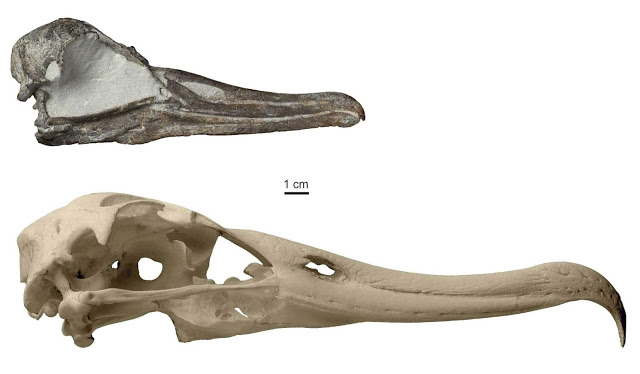 Skull of the newly discovered albatross species (above) in comparison to the Antipodean Albatross,  one of the largest extant albatrosses (below) [Credit: Jean-Claude Stahl, Te Papa]