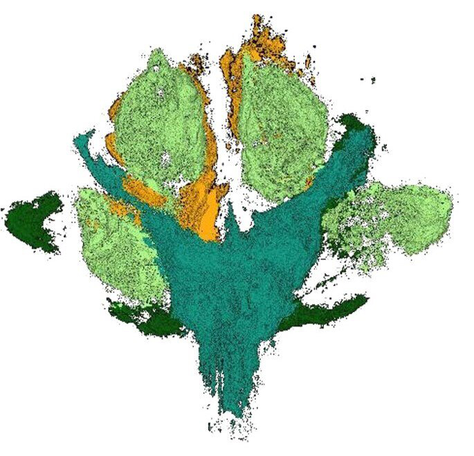 A colour code of the CT scan shows details of the plant: main axis (turquoise),  leaves (dark green), pistils (light green), petals (orange). Credit: Museum für Naturkunde Berlin