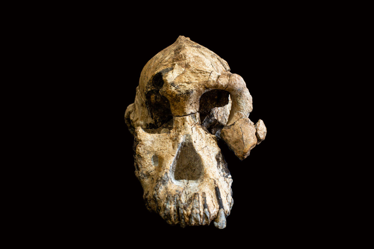The 3.8 million-year-old cranium of Australopithecus anamensis is remarkably complete. Photo Credit: Dale Omori/Cleveland Museum of Natural History/Max Planck Institute.