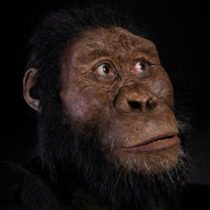 Fossil cranium of Lucy's ancestor identified