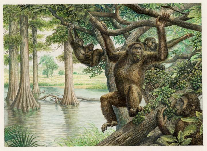 Rudapithecus was pretty ape-like and probably moved among branches like apes do now -- holding its body upright and climbing with its arms. However, it would have differed from modern great apes by having a more flexible lower back, which would mean when Rudapithecus came down to the ground, it might have had the ability to stand upright more like humans do. Credit:  Illustration courtesy of John Siddick