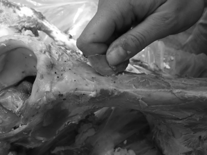 The removal of meat from a bone using a replica of the Revadim tiny flake. Credit: Prof. Ran Barkai, Tel Aviv University
