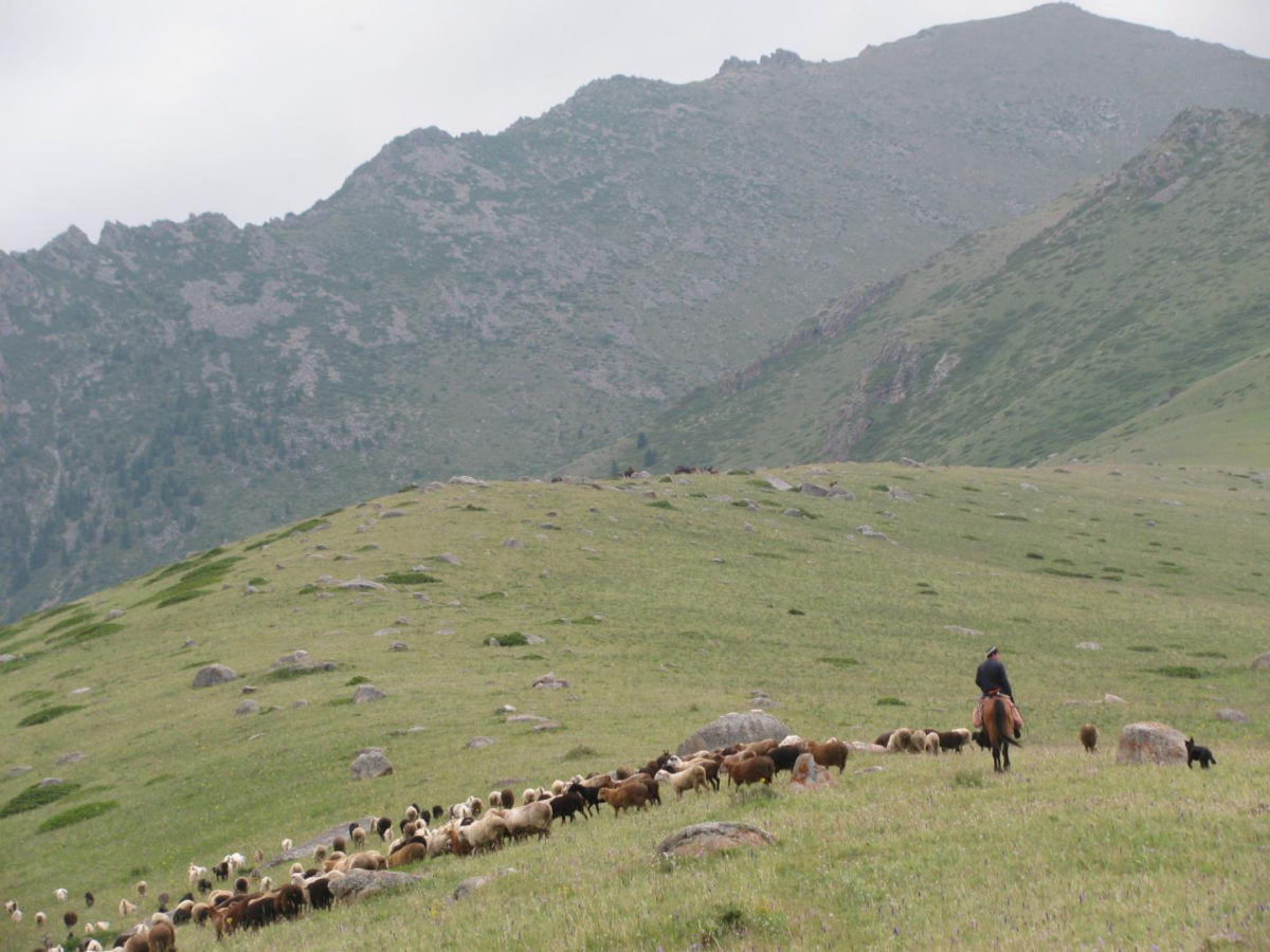 A herder leads his sheep and goats across a field in the Dzhungar Mountains of Kazakhstan. New research from Washington University in St. Louis and Kiel University in Germany reveals that sheep and goats domesticated in the Near East had reached eastern Kazakhstan by 2700 BC. High-resolution stable isotope analysis shows these animals were winter foddered with the earliest millets spreading out of China. Credit:  Paula Dupuy