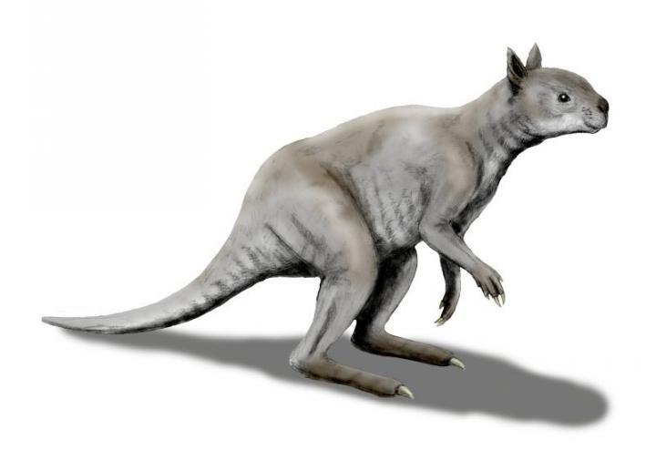 The short-faced kangaroo, Simosthenurus occidentalis -- an artistic reconstruction. Credit:  © N. Tamura
