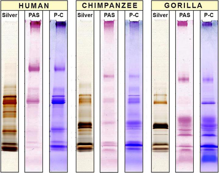 Figure showing the differences between proteins in human, chimpanzee and gorilla saliva using three different staining methods. Credit:  Photo: Stefan Ruhl