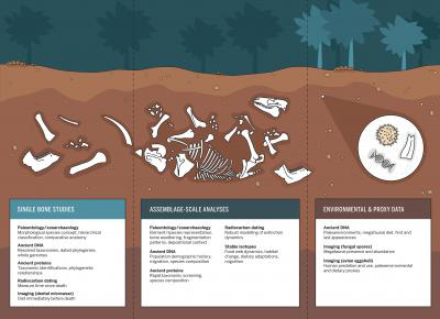 A new article, published in BioScience, emphasizes contributions from five different approaches: radiocarbon dating, stable isotope analysis, ancient DNA, ancient proteins, and microscopy. These techniques can offer robust, high-resolution insights into climate change and extinction chronologies, past habitat transformations, ecological relationships, and species diet and ranging. Credit: Artwork by Michelle O'Reilly, MPI-SHH