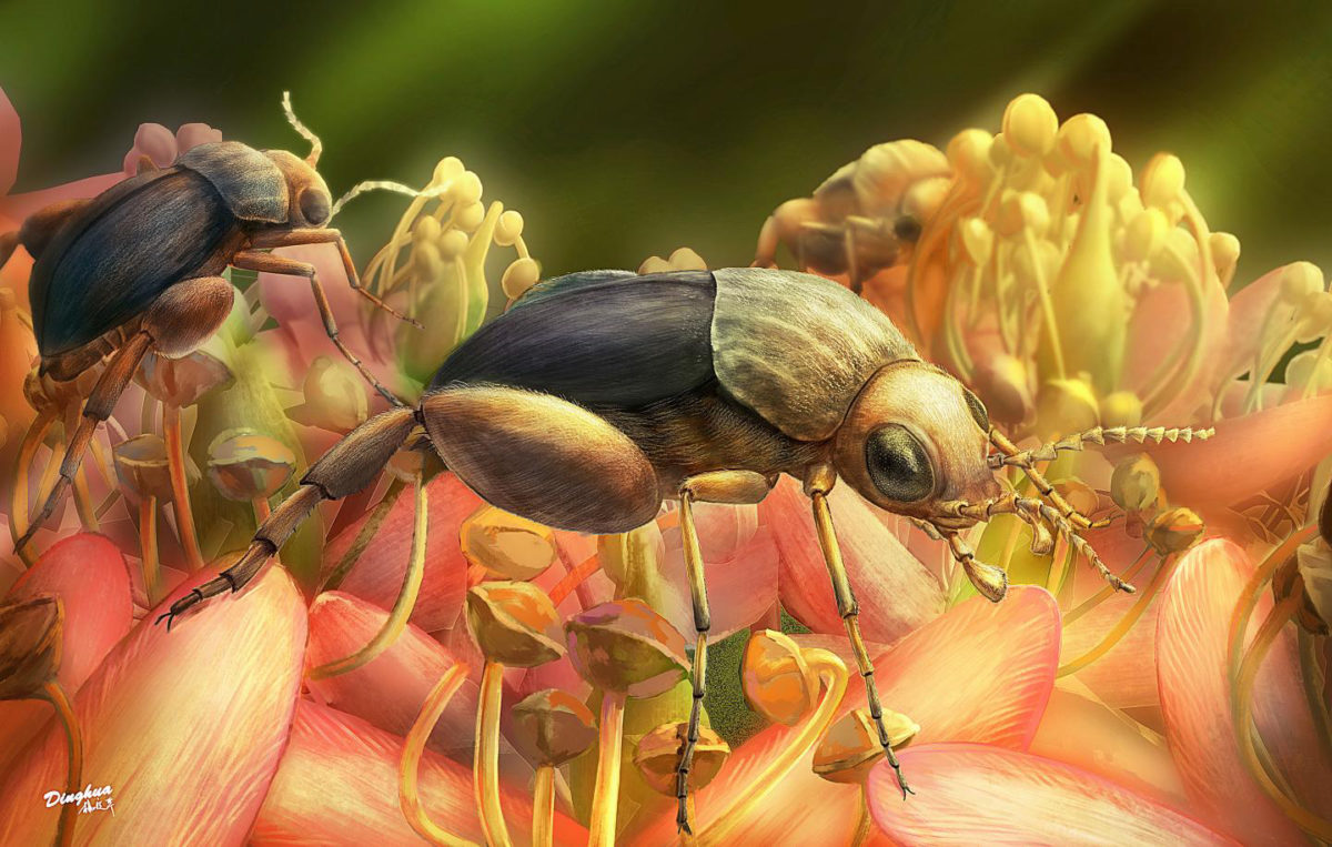 This is an artist's rendering of A. burmitina feeding on eudicot flowers. Credit: Illustration by Ding-hau Yang