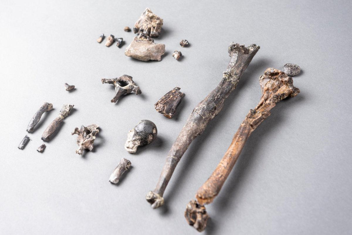 Fossilized bones of Danubius, an 11.62 thousand year old ape (photo: Christoph Jäckle).