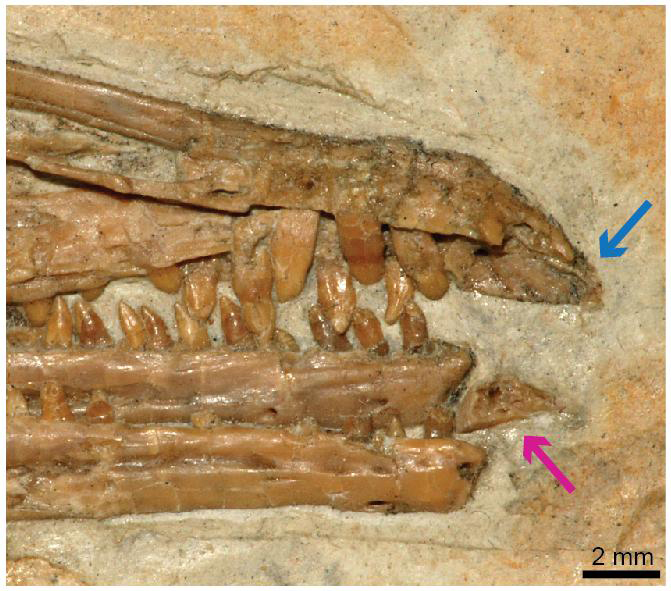 The pink arrow points to the predentary and the blue arrow points to the upper portion of the jaw, which has no teeth. Together, they may have been covered by a keratinous beak, and the predentary was most likely mobile Credit: IVPP