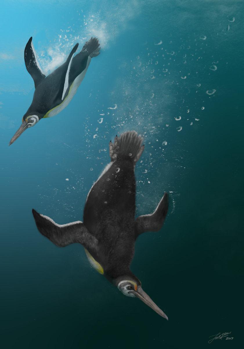Illustration of the newly described Kupoupou stilwelli by Jacob Blokland, Flinders University. Credit: Jacob Blokland, Flinders University
