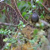 Team discovered 10 new bird taxa in Wallacea