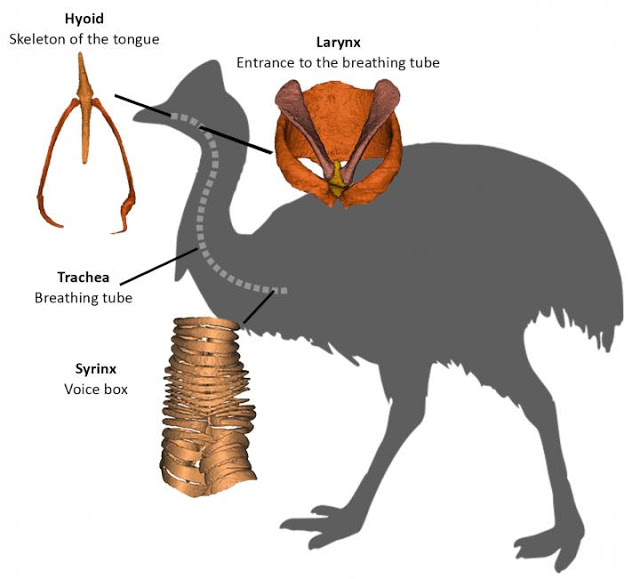 The relationships between palaeognaths the cassowary and close relatives, as determined  from genetic data, has now been supported by morphological data. Credit: Flinders University