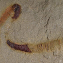 Scientists find oldest-known fossilized digestive tract