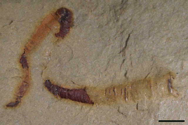 A fossilized cloudinomorph from the Montgomery Mountains near Pahrump, Nev. This is representative of the fossil that was analyzed in the study. Credit: University of Missouri.