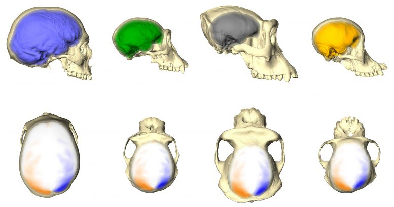 Humans, chimpanzees, gorillas, and orangutans (from left to right) have differently shaped endocasts and brains (see top row). But they share an asymmetry pattern, as visualized in the bottom row. This pattern includes a more backwards projecting left hemisphere and a more forward projecting right hemisphere with localized larger surface areas (orange) in one hemisphere as compared to corresponding smaller regions (blue) in the other hemisphere. Credit: Simon Neubauer, CC BY-NC-ND 4.0