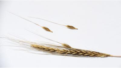 A photo of an ear from a wild barley plant, with the ripe seeds naturally shattering off due to the brittle rachis or stem structure at their base. In the wild, this brittle rachis allows the plant to spread its seed up to two meters from the parent plant, which is a rather weak dispersal mechanism and not characteristic of the other crop progenitor plants. The barley that we eat today evolved tougher rachises as part of the mutualistic relationship they evolved with humans. Humans have dispersed barley plants all over the world. Credit: Robert Spengler