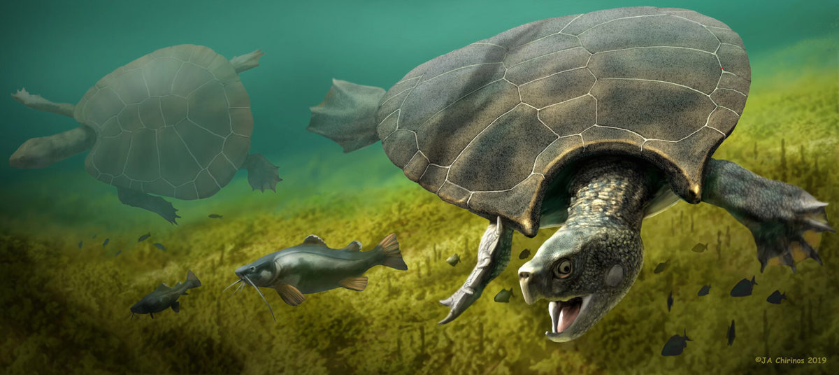 Reconstruction of the giant turtle Stupendemys geographicus: male (front) and female individual (left) swimming in freshwater. (Artwork: Jaime Chirinos).
