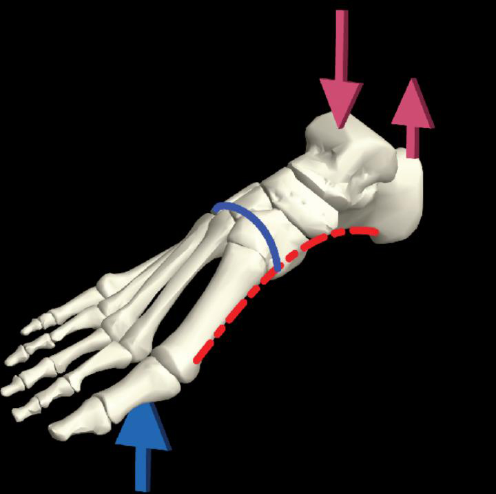 Schematic of the foot skeleton showing the arches and typical loading pattern during locomotion. Credit: Yale University
