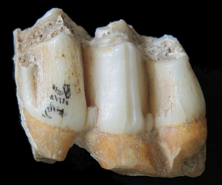 Fossil teeth of an eld's deer (Rucervus eldii) from the Tam Ham Marklot cave's fossil assemblage. This species of deer is still found today in Southeast Asia, and Laos specifically. The area that was sampled for zinc isotope analyses, a long vertical groove, can be seen on the central teeth's cone. Credit: Nicolas Bourgon