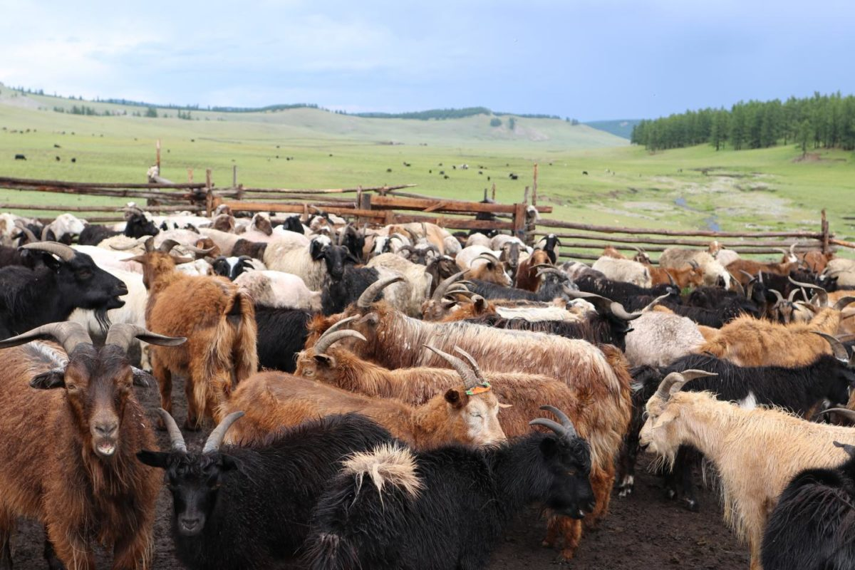 Sheep and goat herds in Mongolia. Credit: Björn Reichhardt