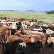 Milk proteins point to the importance of dairying in eastern Eurasia
