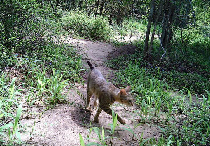 A forest cat trips a motion-activated 'camera trap' in Madagascar's Bezà Mahafaly Special Reserve. Credit: Michelle Sauther